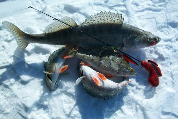 ловля судака в январе на спиннинг
