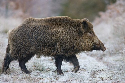 В Забайкальском крае в мясе дикого кабана нашли опасное заболевание