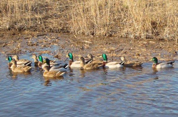 Видео про охоту на уток весной фото 524-346
