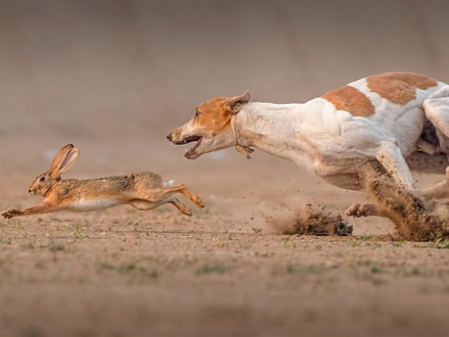 Гончая бежит за зайцем