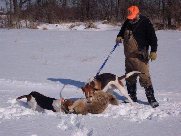 лиса и собаки