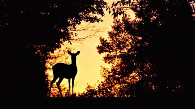 Охота на косулю ночью с фарой