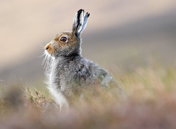 заяц в поле