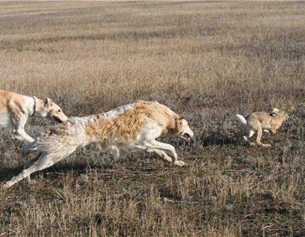 Охота с борзыми на зайца