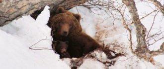 Медведь возле берлоги