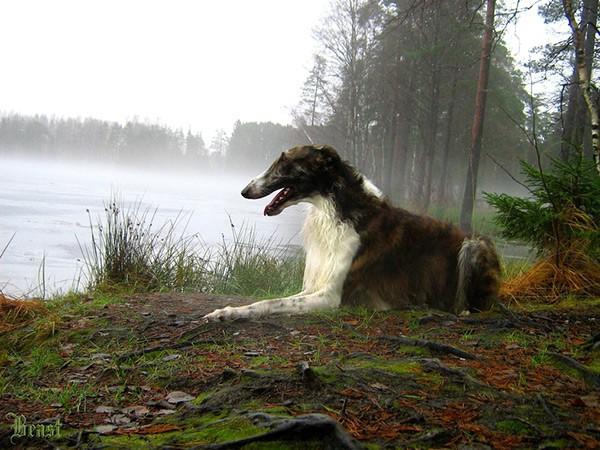 Борзая собака