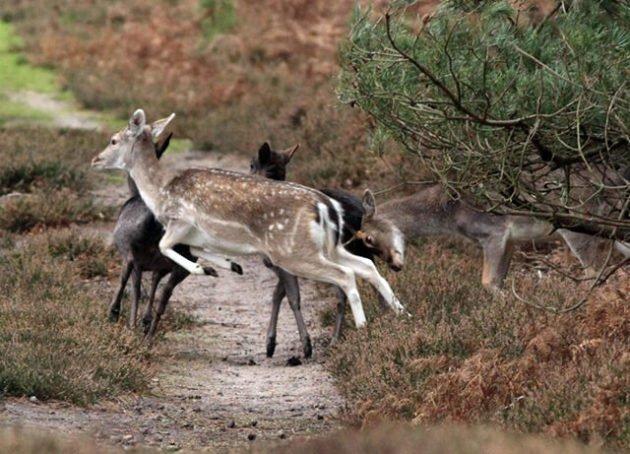 Особенности загонной охоты на косулю