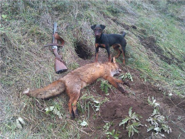 Добыча лисы с ягдтерьером