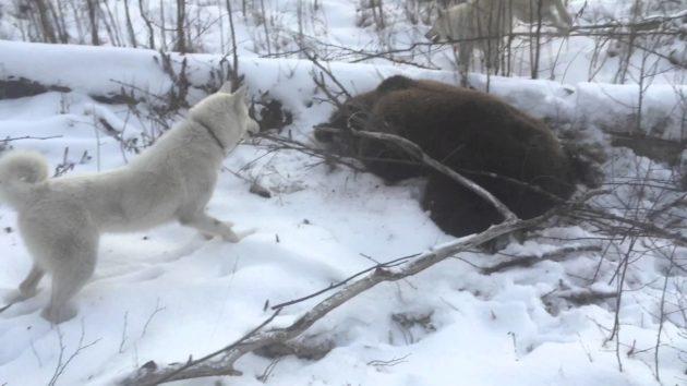 Добыча медведя из берлоги
