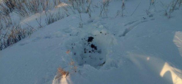 Лежка зайца зимой