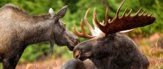 Самец и самка лося