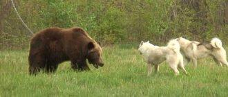 Медведь и лайка