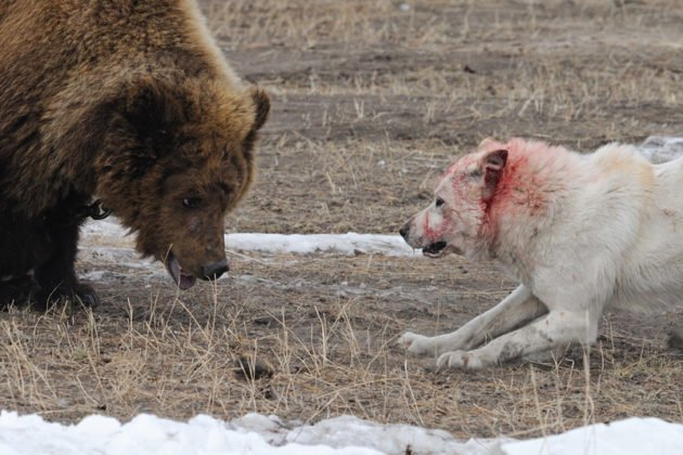Натаскивание бойцовой лайки на медведя