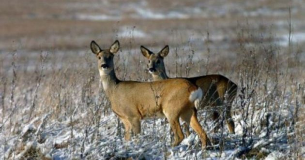 Во многих регионах охота на косуль запрещена