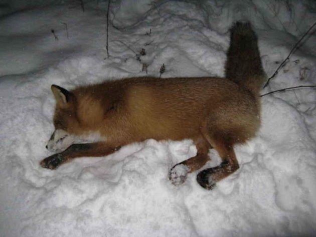 Добыча лисы со снегохода
