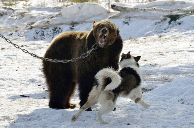 Притравка собак на медведя