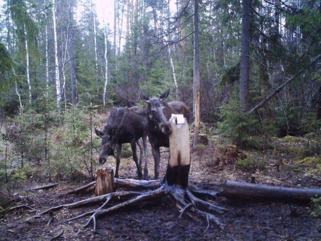 Приманка лосей на охоте