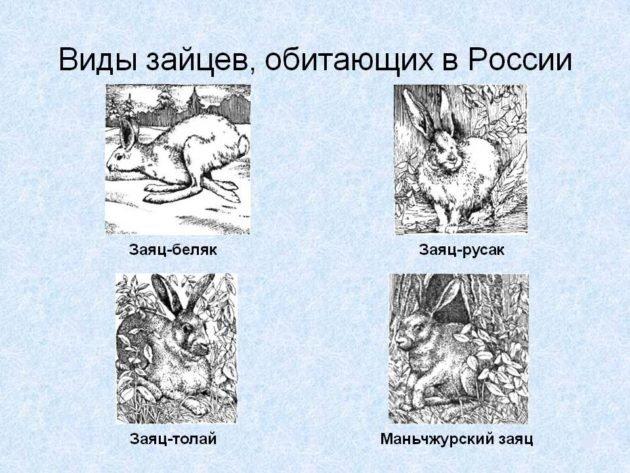 Виды зайцев, обитающий в России