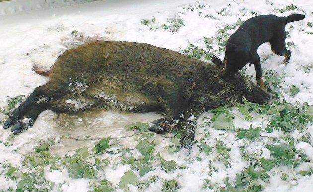 Охота на кабана с ягдтерьером
