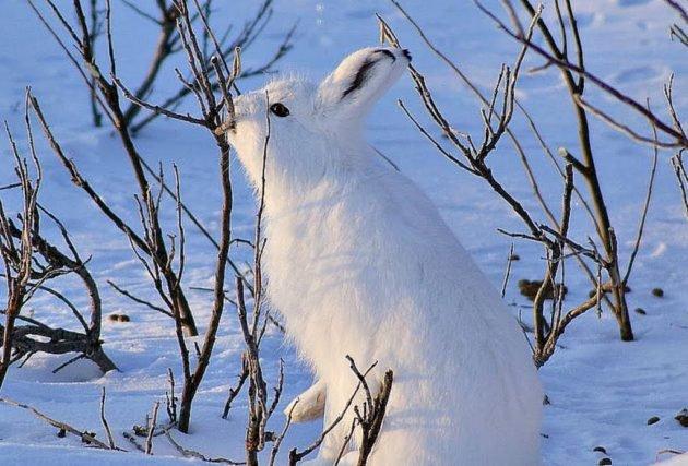 Заяц кормится корой кустарника