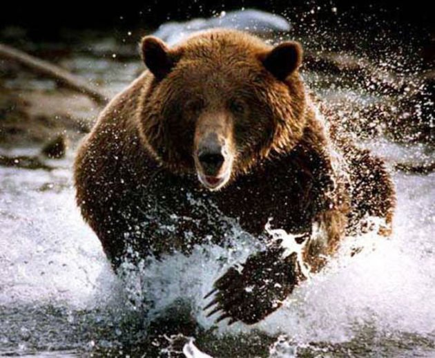 Медведь может попытаться вытеснить противника со своей территории