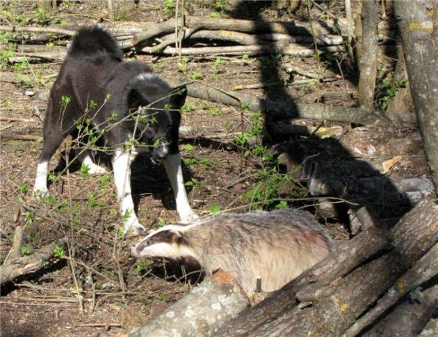 Барсук и охота на него