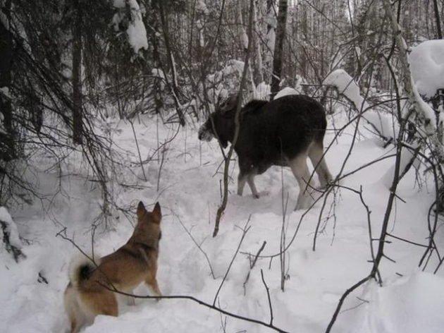 Лосиная охота с собаками