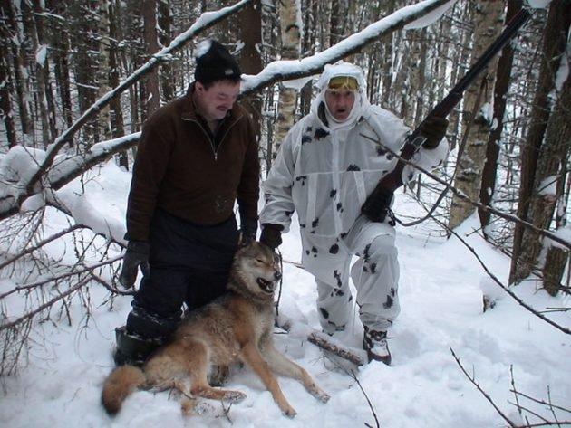 Добыча волка - сложная задача для охотника