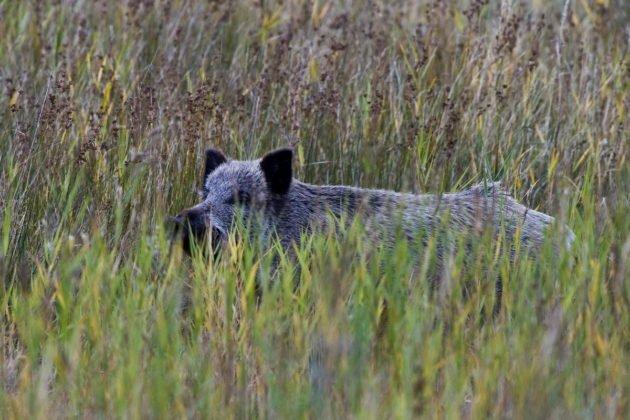В местах обитания кабана следует избегать зарослей высокой травы