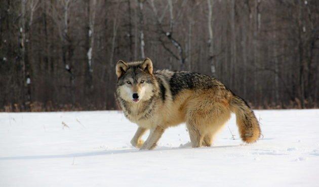 Для охоты на волка нужно получить лицензию