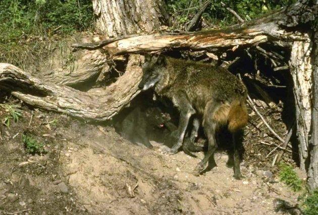 Логово волка