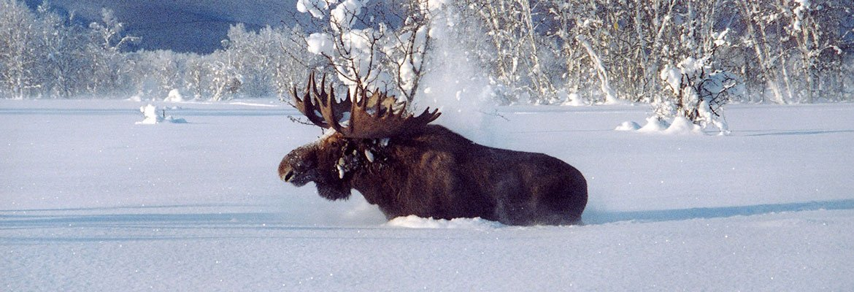 Лось в снегу