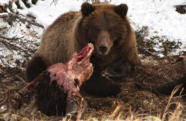 Медведь защищает свою добычу