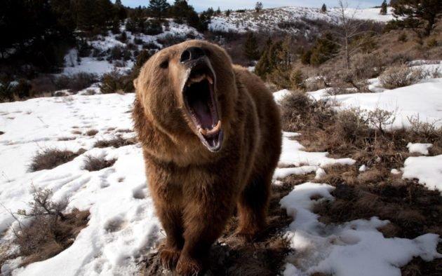 Весной медведи особенно агрессивны