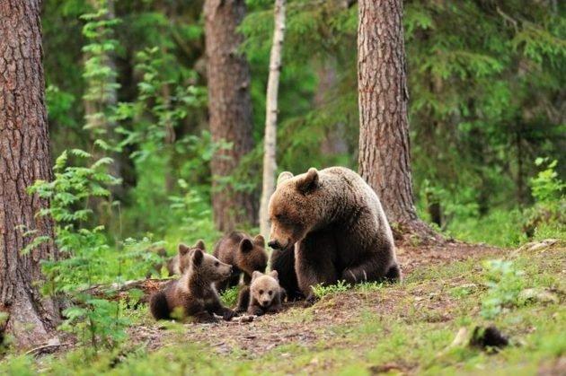 Особенно опасна встреча медведицы с медвежатами
