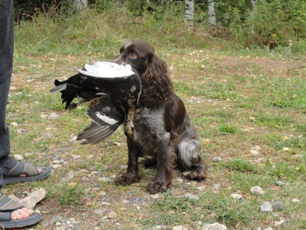Натаска русского охотничьего спаниеля на дичь