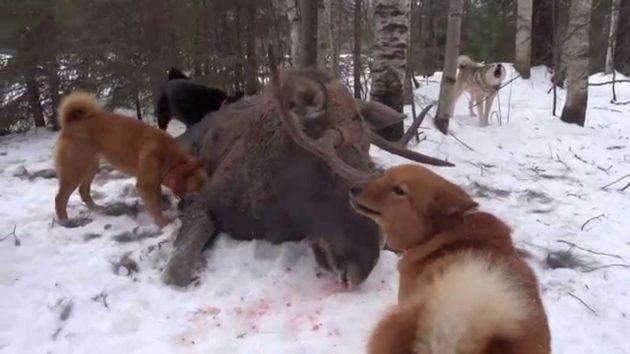 Натаскивание собак на лося