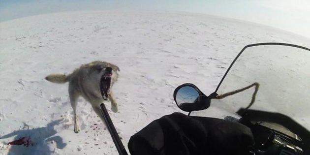 Охота на волков на снегоходах