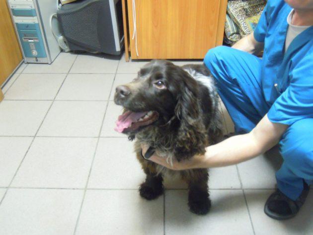 Осмотр русского спаниеля у ветеринара