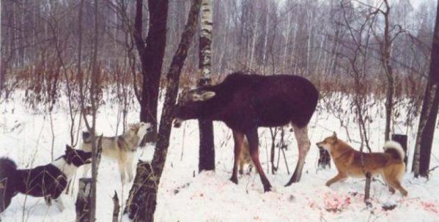 Для участия в охоте на лося лайка должна обладать устойчивой нервной системой