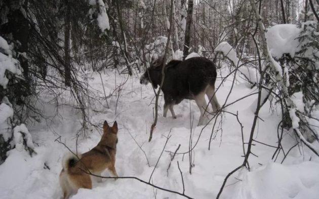 Использование собак при охоте на лося