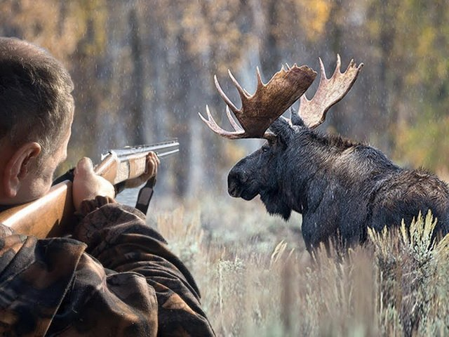 Особенности лосиной охоты
