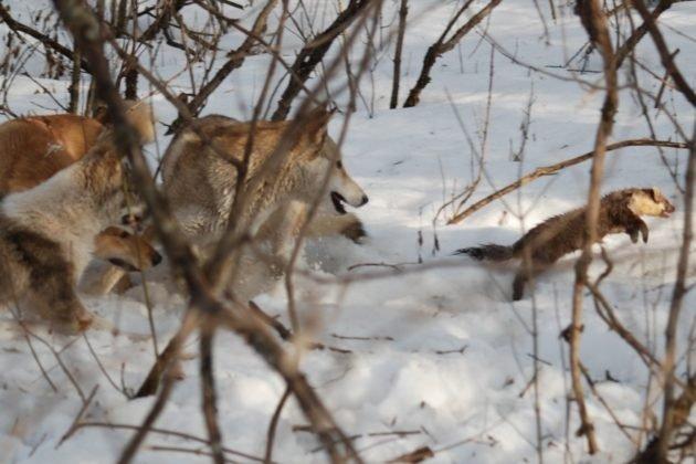 Охота на пушную дичь с собаками