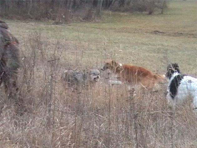 Охота на волка с борзыми