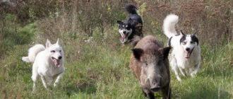 Собаки преследуют кабана