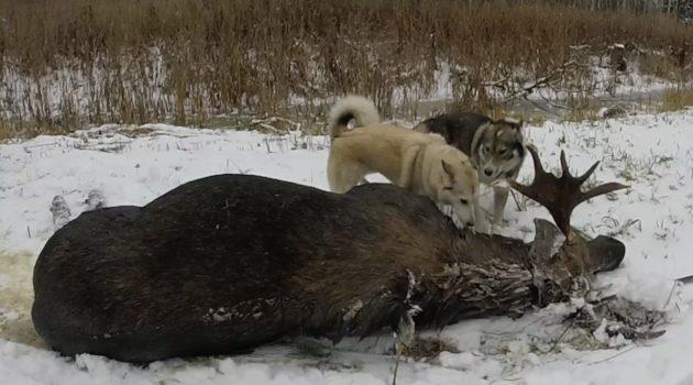 Лака подходит для охоты на крупную и мелкую добычу
