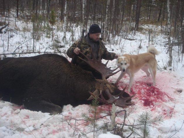 Охота с собакой на лося зимой