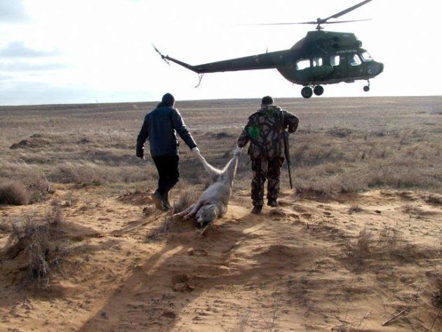 Охота на волка с вертолета