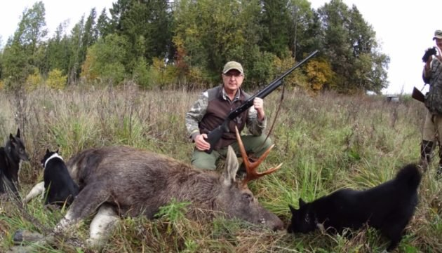 Правила безопасности при загонной охоте на лося