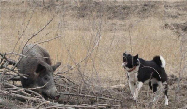 Притравка собаки на кабана